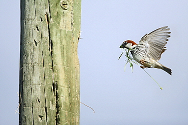 Spanish Sparrow (Passer hispaniolensis) male landing at nest entrance with nesting material, Alentejo, Portugal  -  Duncan Usher