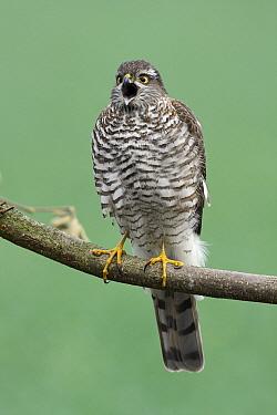 Eurasian Sparrowhawk (Accipiter nisus) female calling, Hessen, Germany  -  Duncan Usher
