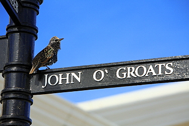 Common Starling (Sturnus vulgaris) street sign, Cornwall, England  -  Duncan Usher