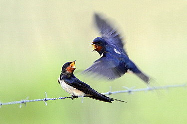 Barn Swallow (Hirundo rustica) pair in courtship display on barbed wire, Alentejo, Portugal  -  Duncan Usher