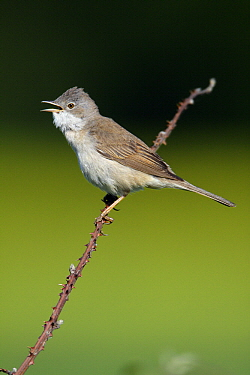 Common Whitethroat (Sylvia communis) male singing on a branch, Hessen, Germany  -  Duncan Usher