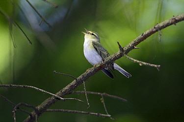 Wood Warbler (Phylloscopus sibilatrix) singing, Hessen, Germany  -  Duncan Usher