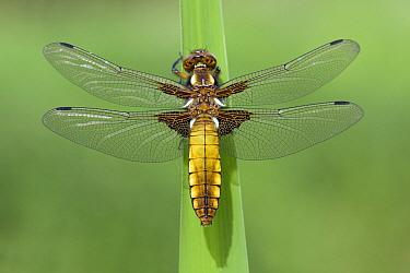 Broad-bodied Chaser (Libellula depressa) dragonfly female, Noord-Brabant, Netherlands