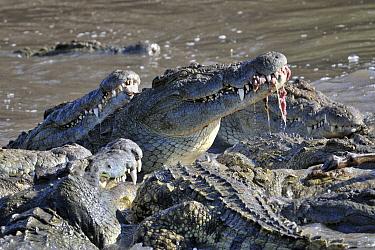 Nile Crocodile (Crocodylus niloticus) group feeding, Lake Ndutu, Serengeti National Park, Tanzania  -  Andre Gilden/ NIS