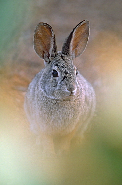 Black-tailed Jackrabbit (Lepus californicus), California  -  Jan Vermeer