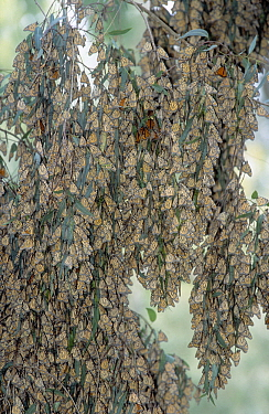 Monarch (Danaus plexippus) branches covered with butterflies, Pacific Grove, California  -  Jan Vermeer