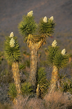 Joshua Tree (Yucca brevifolia) flowering, Mojave Desert, California  -  Jan Vermeer