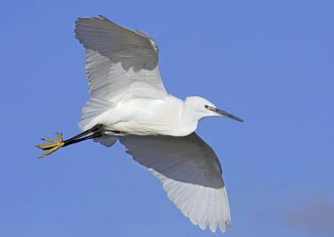 Little Egret (Egretta garzetta) flying, Borsele, Zeeland, Netherlands  -  Marcel Klootwijk/ NiS