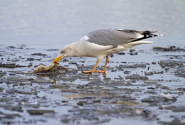 Herring Gull (Larus argentatus) eating a Zander (Lucioperca lucioperca), Arkervaart, Gelderland, Netherlands  -  Jan Sleurink/ NiS
