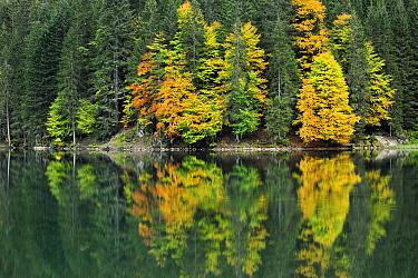Forest in autumn colors reflected in lake, Lac de La Plagne, Haute-Savoie, France  -  Andre Gilden/ NIS