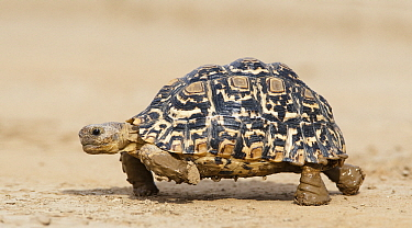 Leopard Tortoise (Geochelone pardalis) with muddy feet, Nossob River, Kgalagadi Transfrontier Park, Botswana  -  Vincent Grafhorst