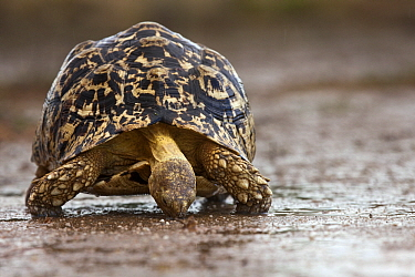 Leopard Tortoise (Geochelone pardalis) drinking from a rain puddle, Nossob River, Kgalagadi Transfrontier Park, Botswana  -  Vincent Grafhorst
