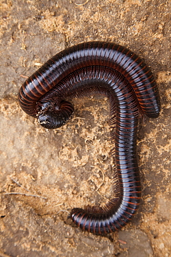 African Giant Black Millipede (Archispirostreptus gigas) mating, Nossob River, Kgalagadi Transfrontier Park, South Africa / Botswana  -  Vincent Grafhorst
