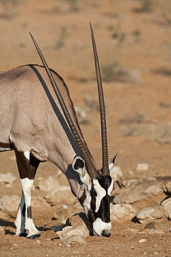 Oryx (Oryx gazella), Nossob River, Kgalagadi Transfrontier Park, Botswana  -  Vincent Grafhorst