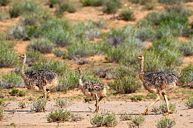 Ostrich (Struthio camelus) chicks walking on Nossob Riverbed, Nossob River, Kgalagadi Transfrontier Park, Botswana  -  Vincent Grafhorst