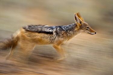 Black-backed Jackal (Canis mesomelas) running, Nossob River, Kgalagadi Transfrontier Park, Botswana  -  Vincent Grafhorst