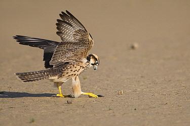Lanner Falcon (Falco biarmicus) juvenile catching a beetle, Nossob River, Kgalagadi Transfrontier Park, Botswana  -  Vincent Grafhorst