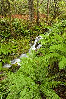 Woodland with ferns and small stream, Glencoe, Scotland, United Kingdom  -  Bart Heirweg/ Buiten-beeld