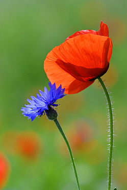 Red Poppy (Papaver rhoeas) flower and bachelor's button, Feldberg, Mecklenburg-Vorpommern, Germany  -  Willi Rolfes/ NIS