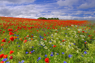 Red Poppy (Papaver rhoeas) and bachelor's button in field, Feldberg, Mecklenburg-Vorpommern, Germany  -  Willi Rolfes/ NIS
