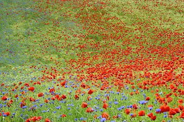 Red Poppy (Papaver rhoeas) and bachelor's button flowering in field, Feldberg, Mecklenburg-Vorpommern, Germany  -  Willi Rolfes/ NIS