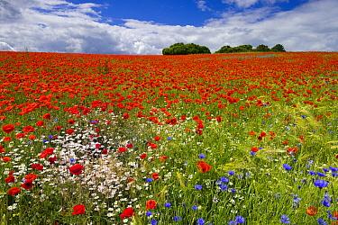 Red Poppy (Papaver rhoeas) field in flower, Feldberg, Meckl enburg-Vorpommern, Germany  -  Willi Rolfes/ NIS