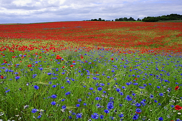 Red Poppy (Papaver rhoeas) and bachelor's buttons flowering in field, Feldberg, Mecklenburg-Vorpommern, Germany  -  Willi Rolfes/ NIS