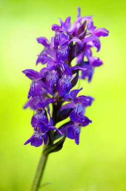 Early Purple Orchid (Orchis mascula) flower, Feldberg, Mecklenburg-Vorpommern, Germany  -  Willi Rolfes/ NIS