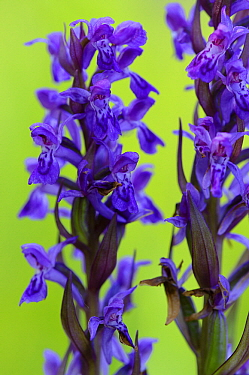 Early Purple Orchid (Orchis mascula) flowers, Feldberg, Mecklenburg-Vorpommern, Germany  -  Willi Rolfes/ NIS