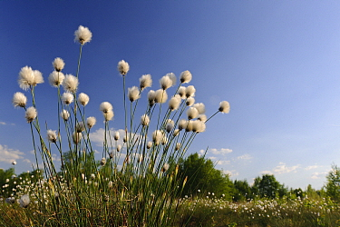 Hare's-tail Cottongrass (Eriophorum vaginatum), Goldenstedt, Lower Saxony, Germany  -  Willi Rolfes/ NIS