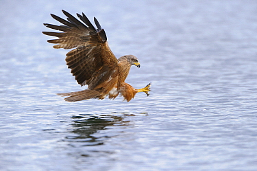 Black Kite (Milvus migrans) striking at fish, Feldberg, Mecklenburg-Vorpommern, Germany  -  Willi Rolfes/ NIS