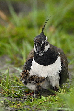 Lapwing (Vanellus vanellus) and chick, Lauwersmeer, Groningen, Netherlands  -  Marcel van Kammen/ NiS