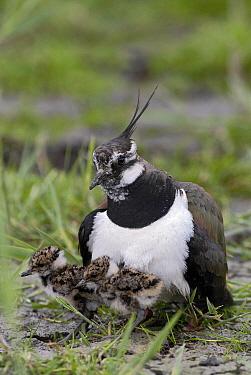 Lapwing (Vanellus vanellus) parent with chicks, Lauwersmeer, Groningen, Netherlands  -  Marcel van Kammen/ NiS