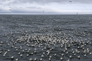 Northern Fulmar (Fulmarus glacialis) flock resting on water, Hornoya, Varanger, Norway  -  Jan Vermeer