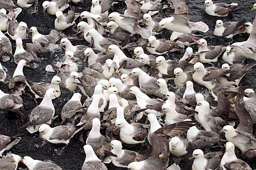 Northern Fulmar (Fulmarus glacialis)feeding frenzy on the water, Hornoya, Varanger, Norway  -  Jan Vermeer