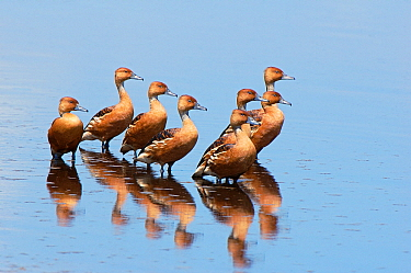Fulvous Whistling Duck (Dendrocygna bicolor) group in shallow water, Tanzania  -  Jan Vermeer