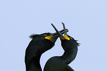 European Shag (Phalacrocorax aristotelis) pair courting, Hornoya, Varanger, Norway  -  Jan Vermeer