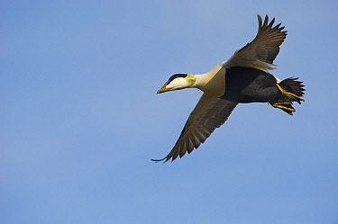 Common Eider (Somateria mollissima) drake flying, Svalbard, Norway  -  Jan Vermeer
