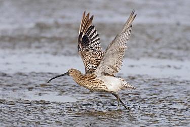 Eurasian Curlew (Numenius arquata) taking off, Holwerd, Friesland, Netherlands  -  Marcel van Kammen/ NiS
