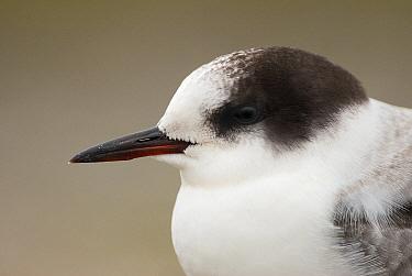 Arctic Tern (Sterna paradisaea) juvenile, Kornwerderzand, Friesland, Netherlands  -  Marcel van Kammen/ NiS