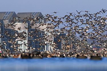 Eurasian Wigeon (Anas penelope) flock landing, Kleine Wielen, Leeuwarden, Friesland, Netherlands  -  Marcel van Kammen/ NiS