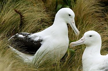 Southern Royal Albatross (Diomedea epomophora) couple, Campbell Island, New Zealand, Southern Ocean  -  Jan Vermeer
