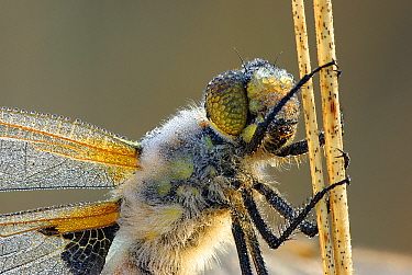 Four-spotted Chaser (Libellula quadrimaculata) dragonfly covered with dew, Uffelte, Drenthe, Netherlands  -  Jogchum Reitsma/ NiS