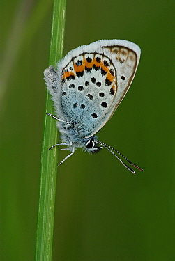 Silver-studded Blue (Plebejus argus) butterfly female, Dwingelderveld, Drenthe, Netherlands  -  Jogchum Reitsma/ NiS