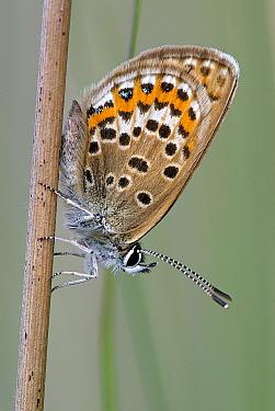 Silver-studded Blue (Plebejus argus) butterfly male, Dwingelderveld, Drenthe, Netherlands  -  Jogchum Reitsma/ NiS