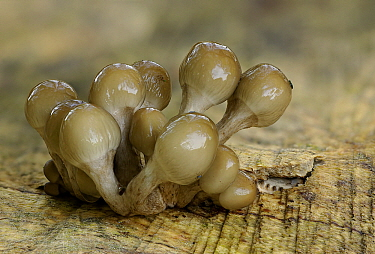 Porcelain Mushroom (Oudemansiella mucida) on tree trunk, Wilhelminaoord, Drenthe, Netherlands  -  Jogchum Reitsma/ NiS