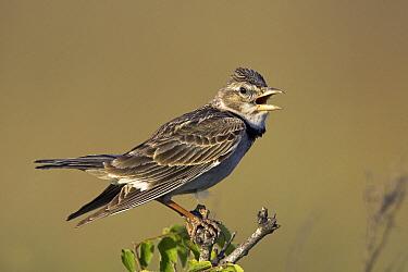 Calandra Lark (Melanocorypha calandra) male singing, Kap Kaliakra, Bulgaria  -  Martin Woike/ NiS