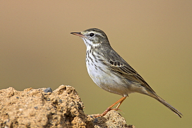 Berthelot's Pipit (Anthus berthelotii), Lanzarote, Canary Islands, Spain  -  Martin Woike/ NiS