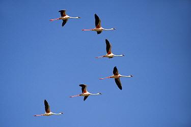 Lesser Flamingo (Phoenicopterus minor) flock flying, Lake Ndutu, Serengeti National Park, Tanzania  -  Andre Gilden/ NIS