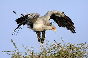 Secretary Bird (Sagittarius serpentarius) spreading wings, Ndutu, Serengeti National Park, Tanzania  -  Andre Gilden/ NIS